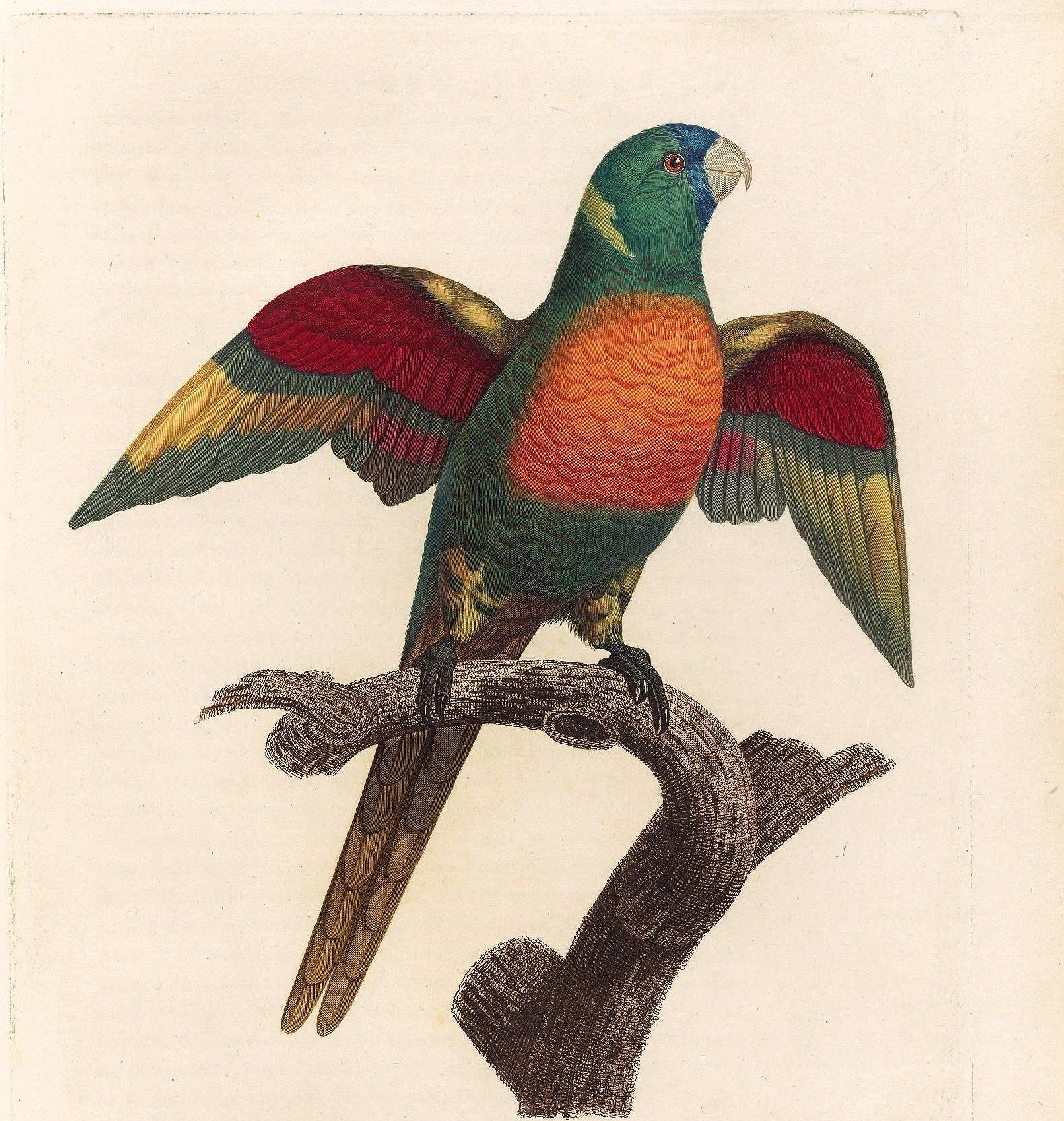papegøye 1