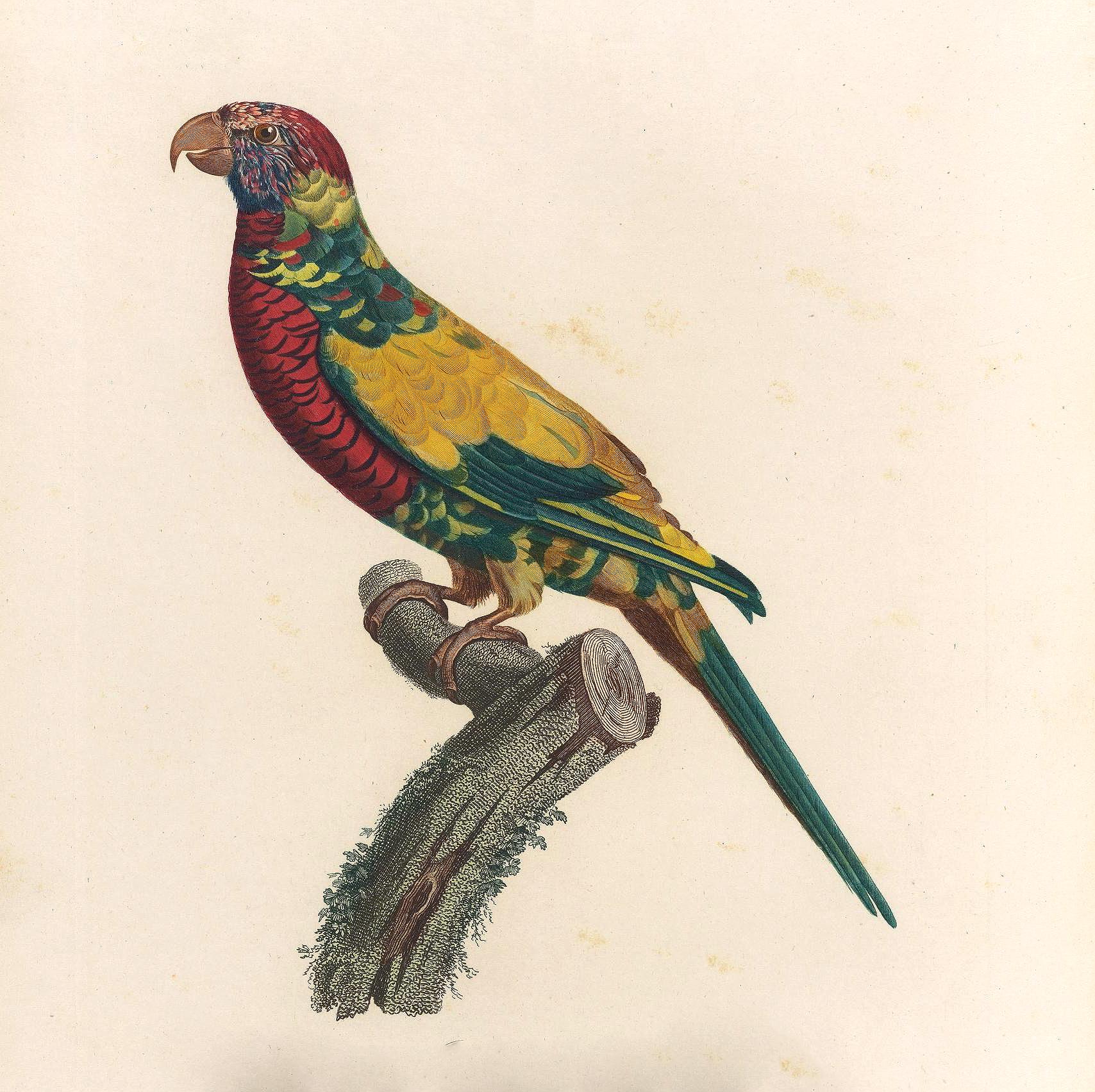 papegøye 10