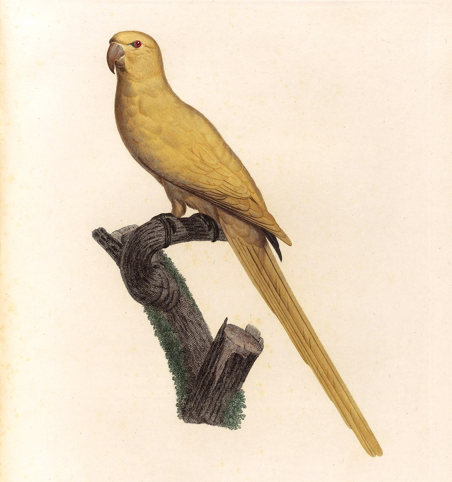 papegøye 3