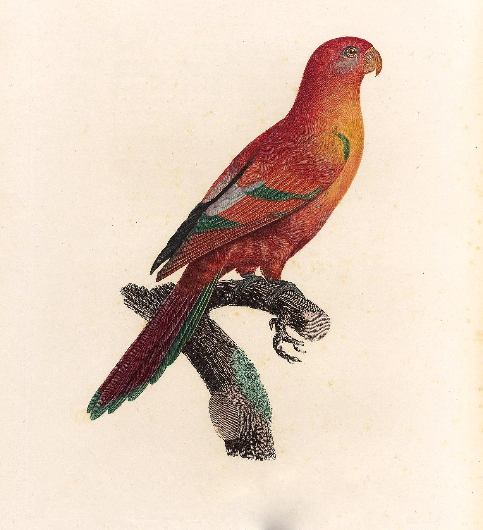 papegøye 4