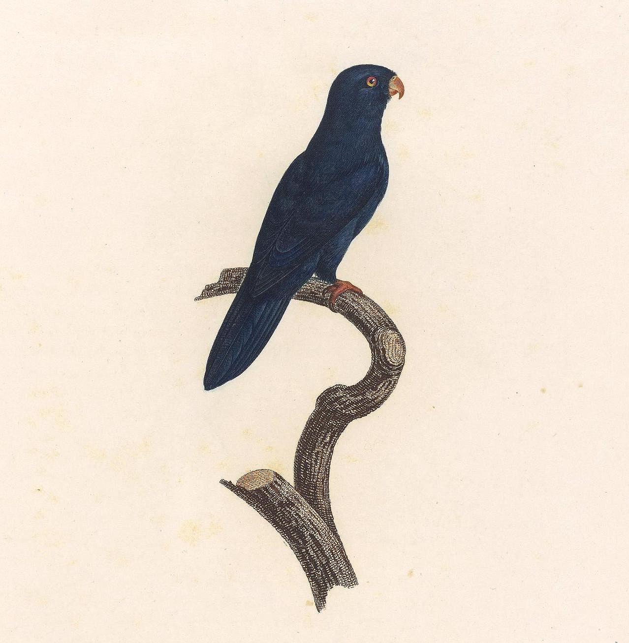 papegøye 7