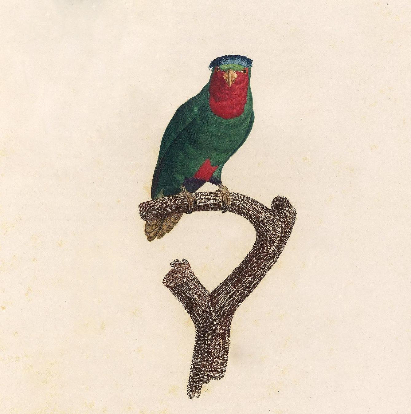 papegøye 8