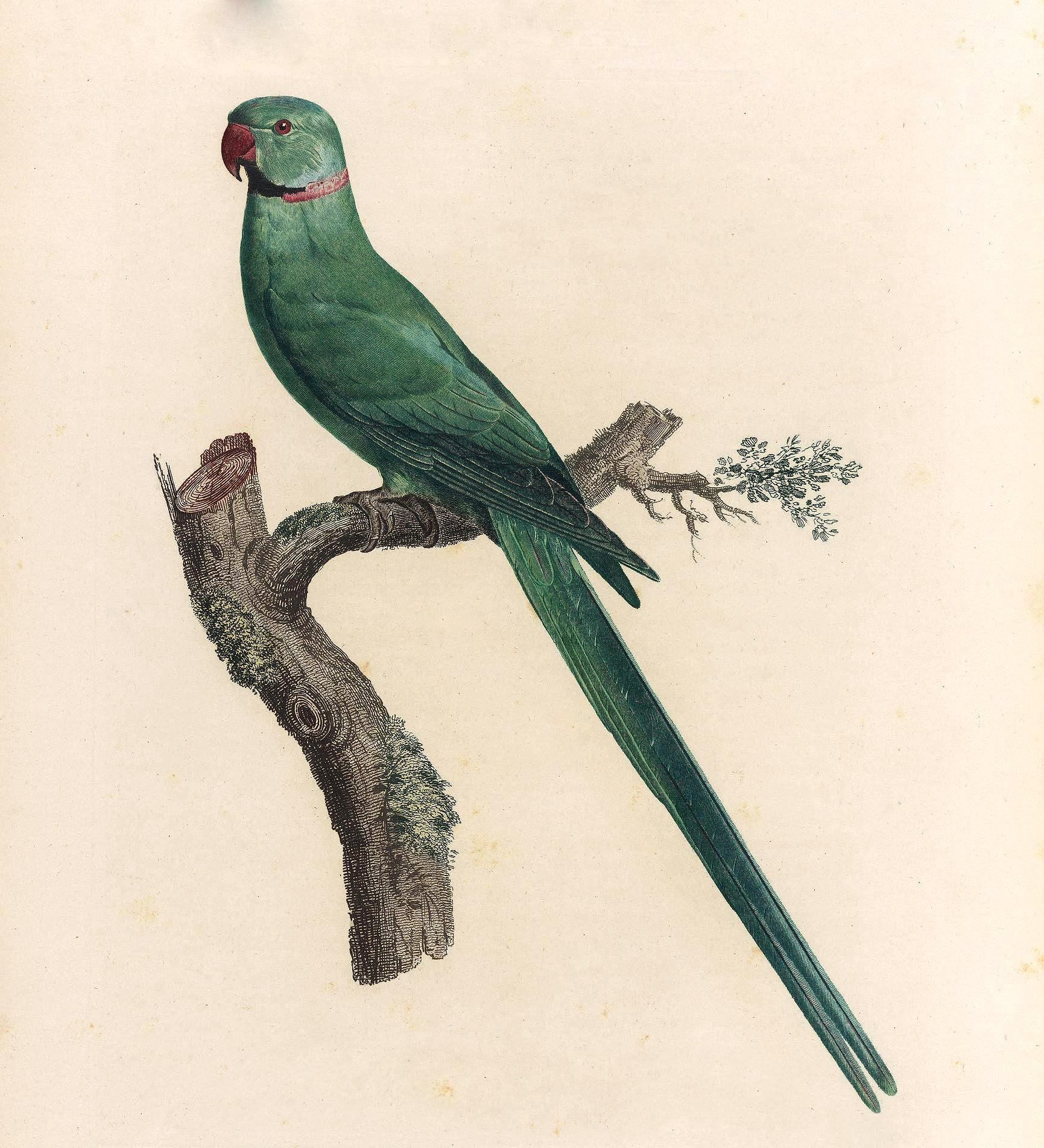 papegøye 9