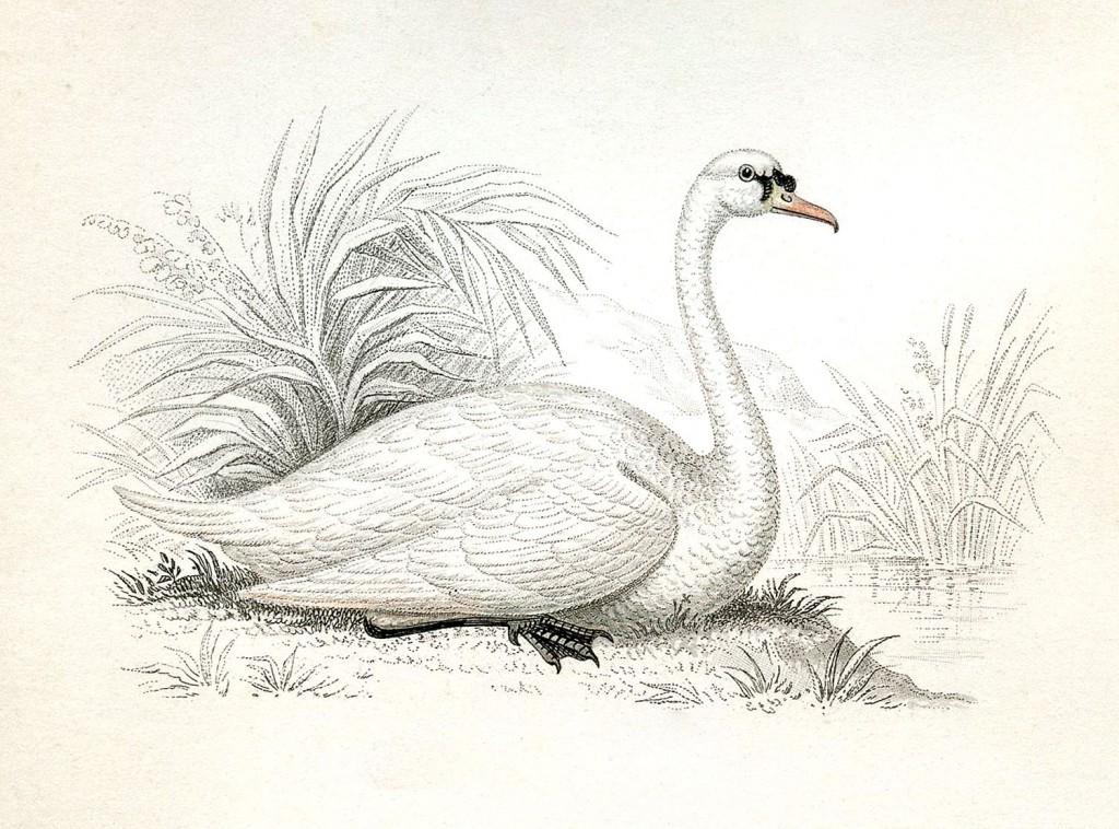 Svane fra 1854
