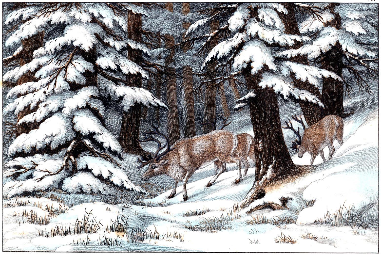 REINSDYR I SNØLANDSKAP: Dette flotte motivet er hentet fra en naturhistorisk bok fra 1860-tallet. Bedre vinterstemning får man ikke!