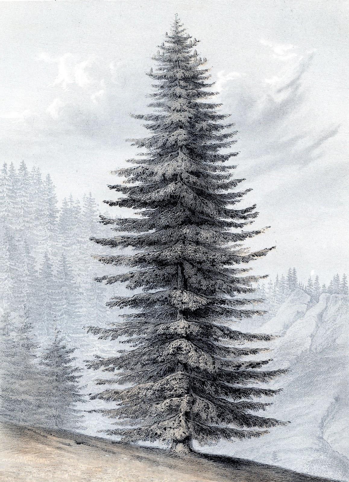 VINTERTRE: Denne praktfulle furua synes vi fortjener å passe til de kalde vintermånedene – ikke bare til jul!